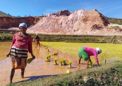 Planter du riz... à la main